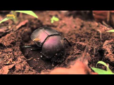 African Dung Beetle buries dung - Miskruier