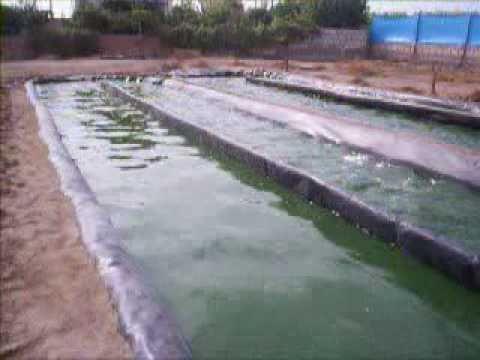 Spirulina en Reactores Raceway - Perú
