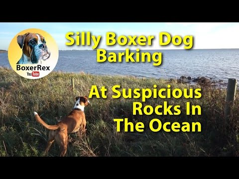 Boxer dog Rex barking at some suspiciously rocks in the water