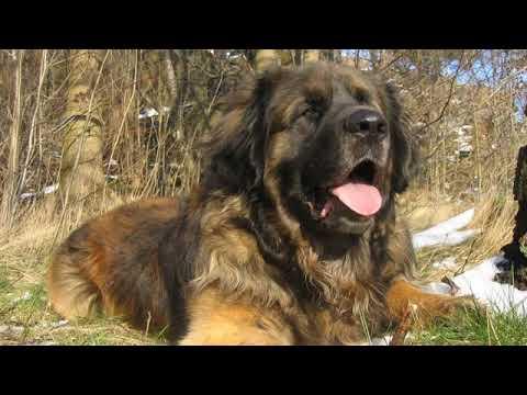 Leonberger - big, working dog breed