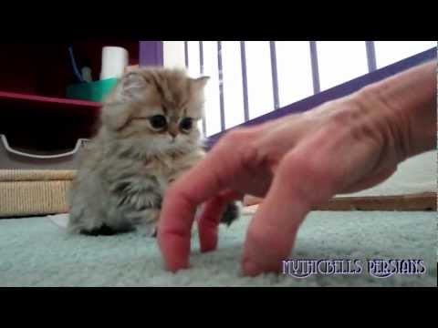 Thumbnail for Cat Video Hide and Seek with a Persian Kitten