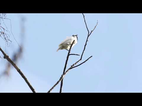 "World's loudest bird ""sings"" at a deafening 125 dB"
