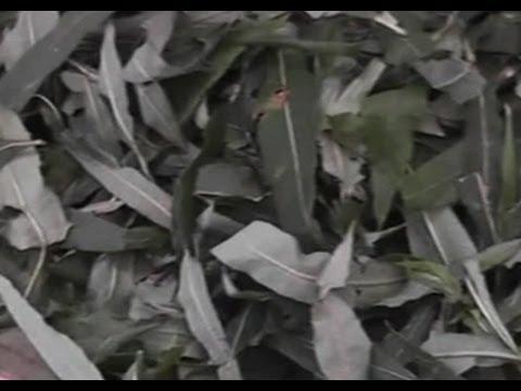 Иван-чай (видео) - лечебное растение: описание, фото