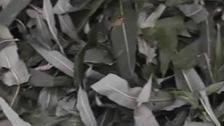 """Как сделать чай из Кипрея узколистного (""""Иван-чай"""")"""