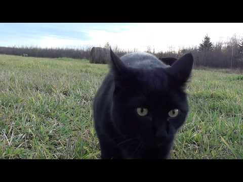 Chopper the black Manx cat MEOWS