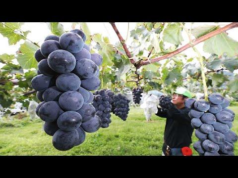 Colorful Japanese Grape Garden - Famous and Expensive Grape Harvest - Japanese Grape Farm