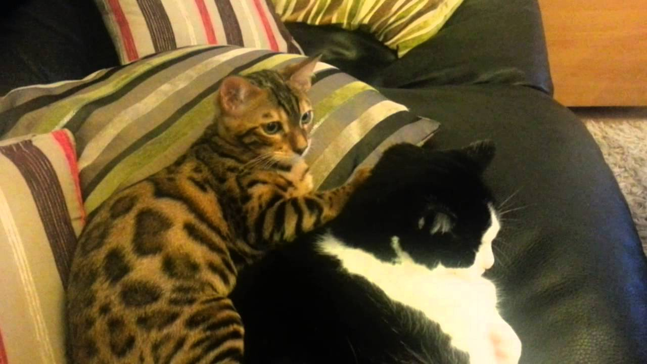 Bengal kitten being cheeky to a huge cat - YouTube