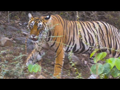 Tiger And Leopard Sighting At Ranthambore Zone 1 - 2019