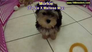 Morkie, Puppies, For, Sale, In, Badger, County, Alaska, Ak, Kink Fairview, College