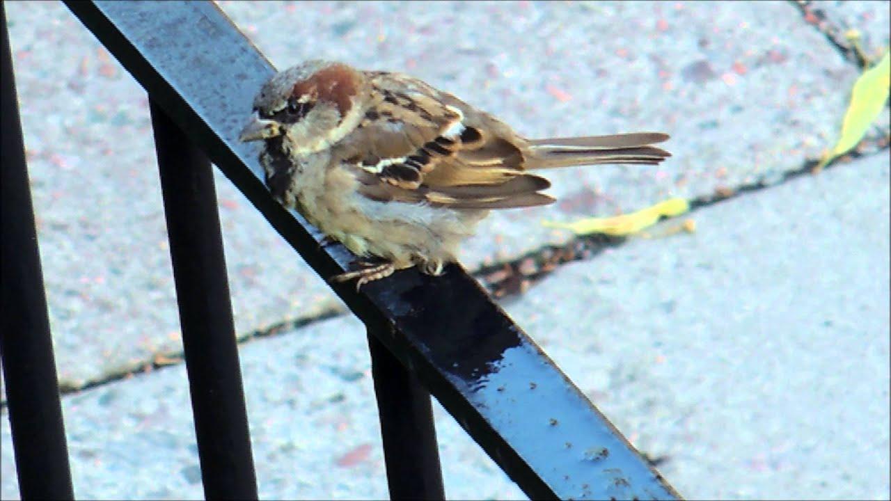 Gråsparv på staket i juli 2014 / house sparrow on a fence   youtube