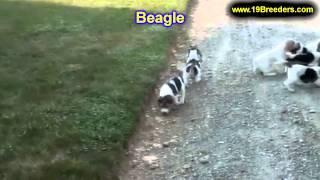 Beagle, Welpen, Für, Verkauf, In, Nordrhein Westfalen, Deutschland, Bayern, Hessen