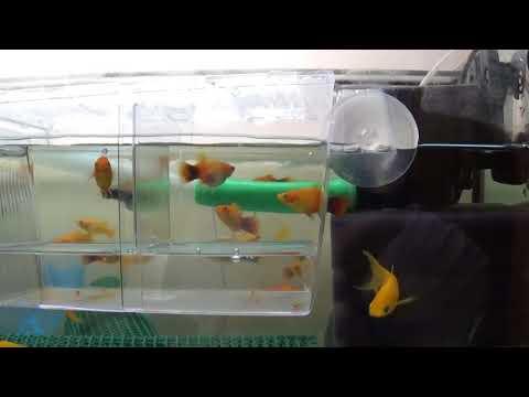 Аквариумные рыбки.Часть 20.Пецилия,рождение мальков.