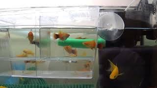 видео Аквариумная рыбка пецилия. Содержание, уход