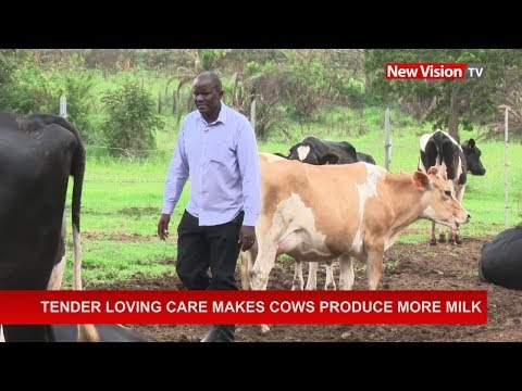Tender loving care makes cows produce more milk