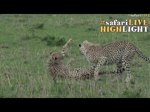 Cheetah brothers caught in a moment of play