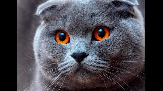 Шотландская вислоухая кошка - скоттиш фолд, описание породы