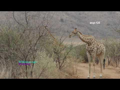 African Safari- 5  _Giraffe Sightings      _(720p)
