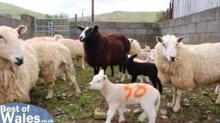 Lambing Live - Experience the Lambing Season in Wales