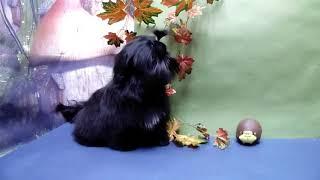 Питомник декоративных пород собак ши-тцу и гриффон.