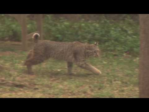 Thumbnail: Bobcats in My North Dallas Yard