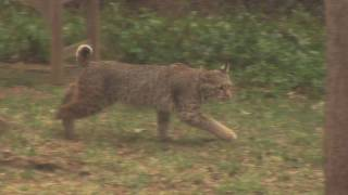 Bobcats in My North Dallas Yard