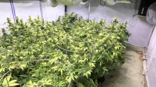 11,000 Watt Romulan Flower Room Day 56 Harvest Time!