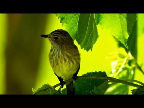 Beautiful Nature - Lovely Bird - Spotted Flycatcher - 4K Video Ultra HD