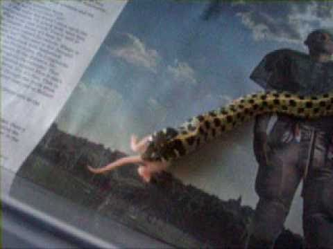 Garter snake eating fuzzy mouse - YouTube