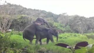 Repeat youtube video Elephants mating at Patara Elephant Farm