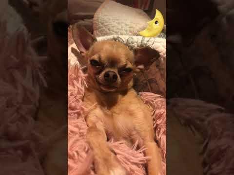 Chihuahua falling asleep