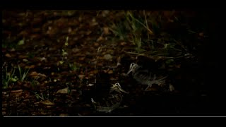 Kοντόραμφες Μπεκάτσες (Short beak woodcocks)