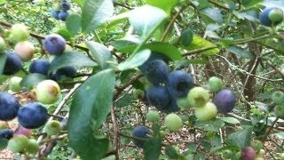 How to grow bluberries, 38 gallons from 8 plants.Tricks, tips, storing. What kind to plant?