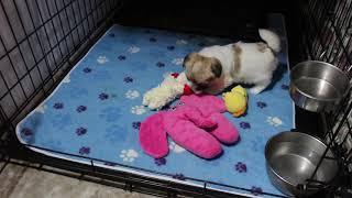 Coton de Tulear Puppies For Sale - Inca 5/28/21