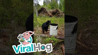Close Encounter with a Young Black Bear || ViralHog