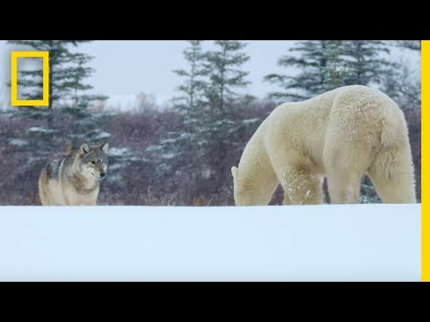 Wolf Pack Takes On A Polar Bear - Ep. 1 | Wildlife: The Big Freeze