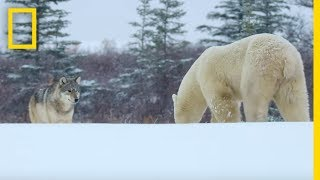 Wolf Pack Takes on a Polar Bear Wildlife with Bertie Gregory