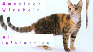 American Wirehair. Pros and Cons, Price, How to choose, Facts, Care, History