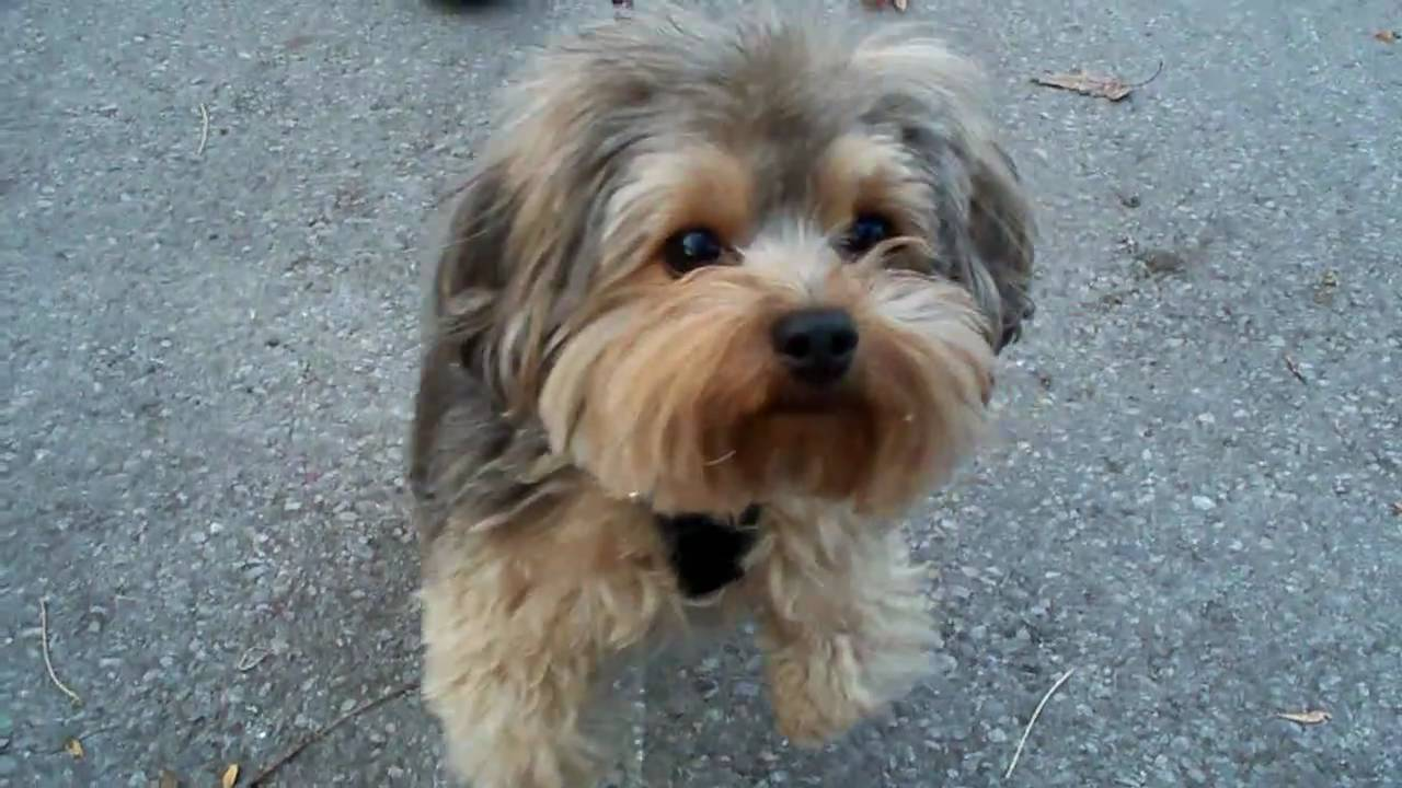 Pictures Of Yorkies Haircuts 7079460 Dewingerdfo