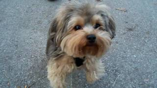 Super Britney Meets Barking Barkley The Yorkie Poo *omg Very Funny Dogs