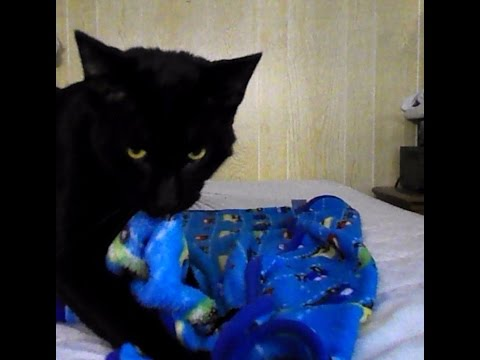 Bombay Cat Recovers in Foster Care