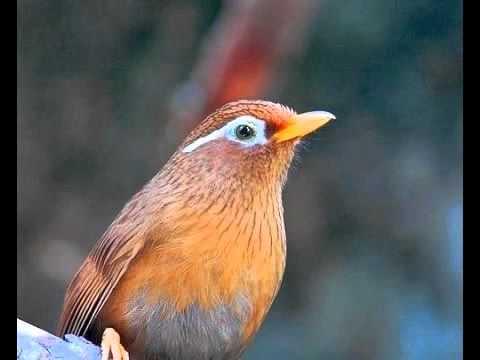 Suara Kicauan Burung WAMBI Durasi Panjang Untuk Masteran Cucak Ijo dan Cucak Rowo
