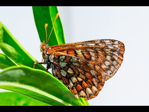 Rare Butterfly Returns To San Diego National Wildlife Refuge