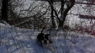 pitbull curtis im schnee