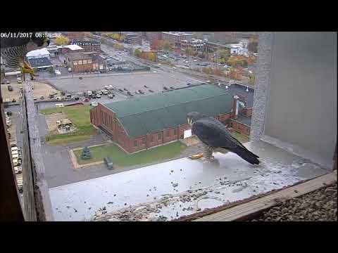 Single Digits Peregrine Falcon - 2017.11.06 Record - Nice jump! Dad!