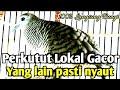 Perkutut Lokal Gacor Yang Lain Pasti Nyaut Denger Suara Ini Suara Burung Perkutut Lokal  Mp3 - Mp4 Download