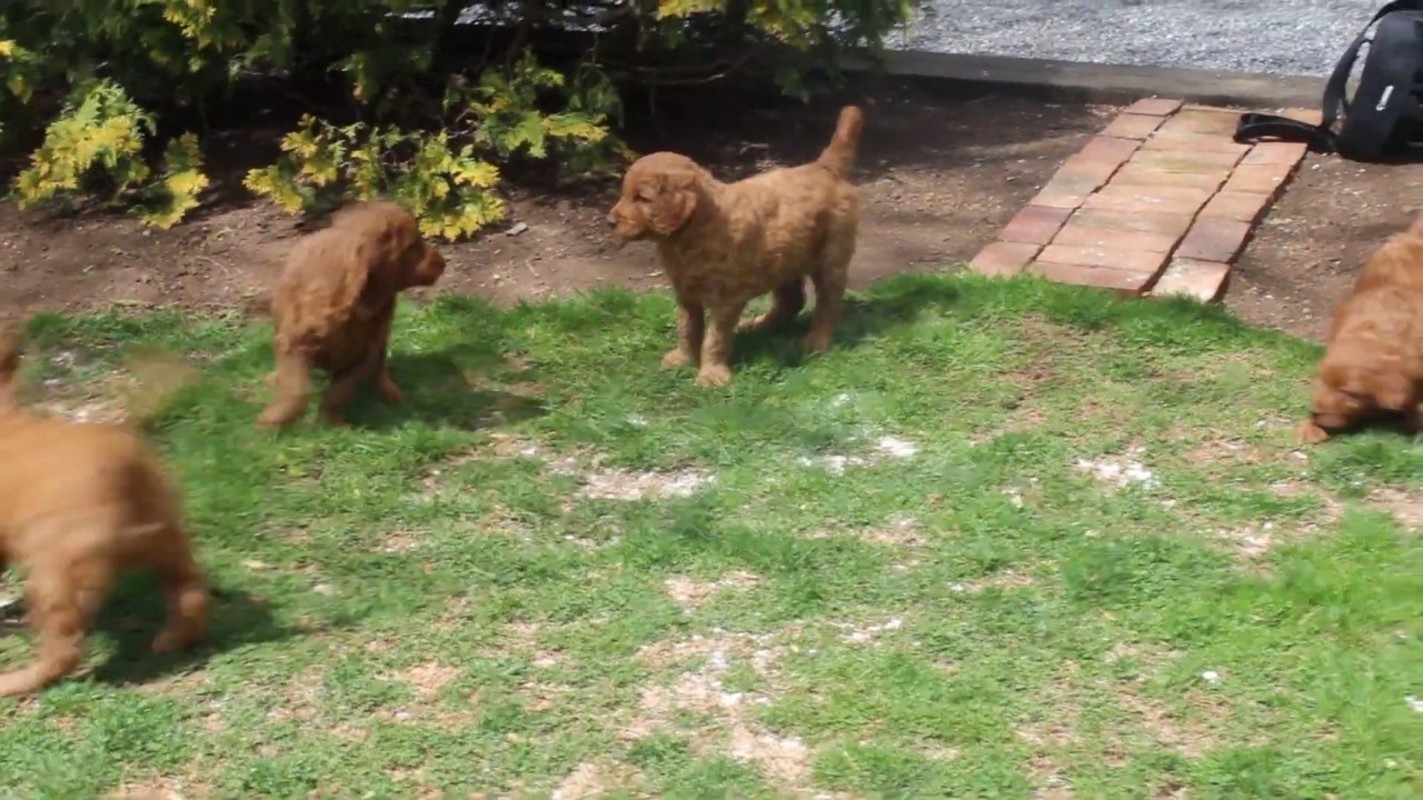 Standard Goldendoodle puppies for Sale!