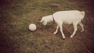 تيس يلعب كرة قدم !!!