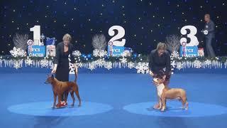 "THAI RIDGEBACK DOG : DOG SHOW  Kyiv Rus 2018"" and ""Crystal Cup 2018"