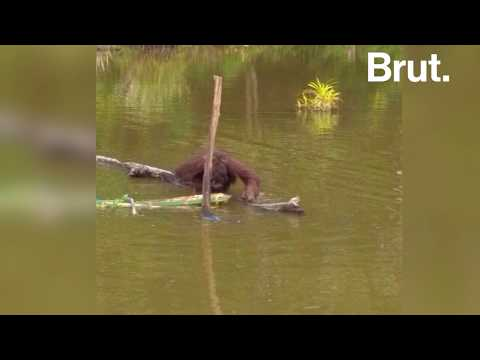 Cet orang-outan est la dernière victime du braconnage à Bornéo