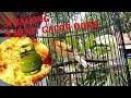 Kenari Gacor Dor  Menit Masteran Kenari  Mp3 - Mp4 Download
